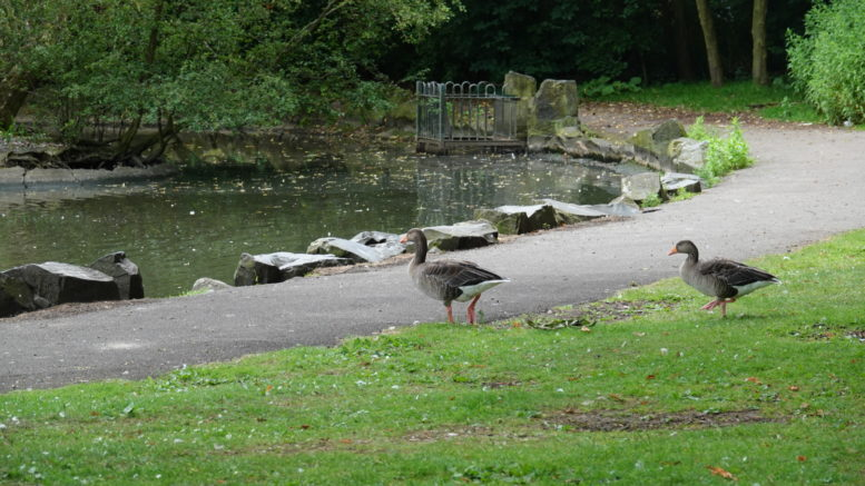 Ducks in East Park.