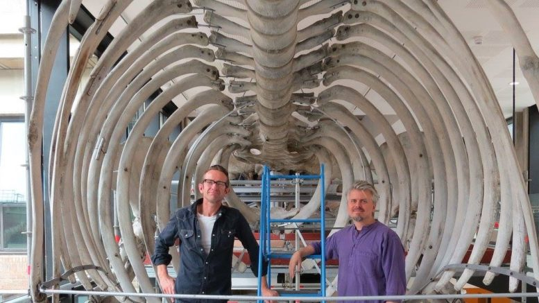 Nigel Larkin and Phil Rye with the Cambridge fin whale during installation